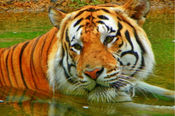 Bengal tiger in water
