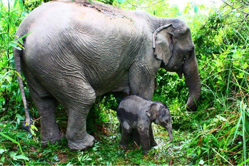 baby asian elephant with mother