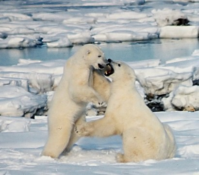 polar bears fighting