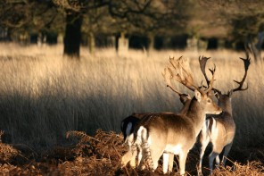 deer richmond park